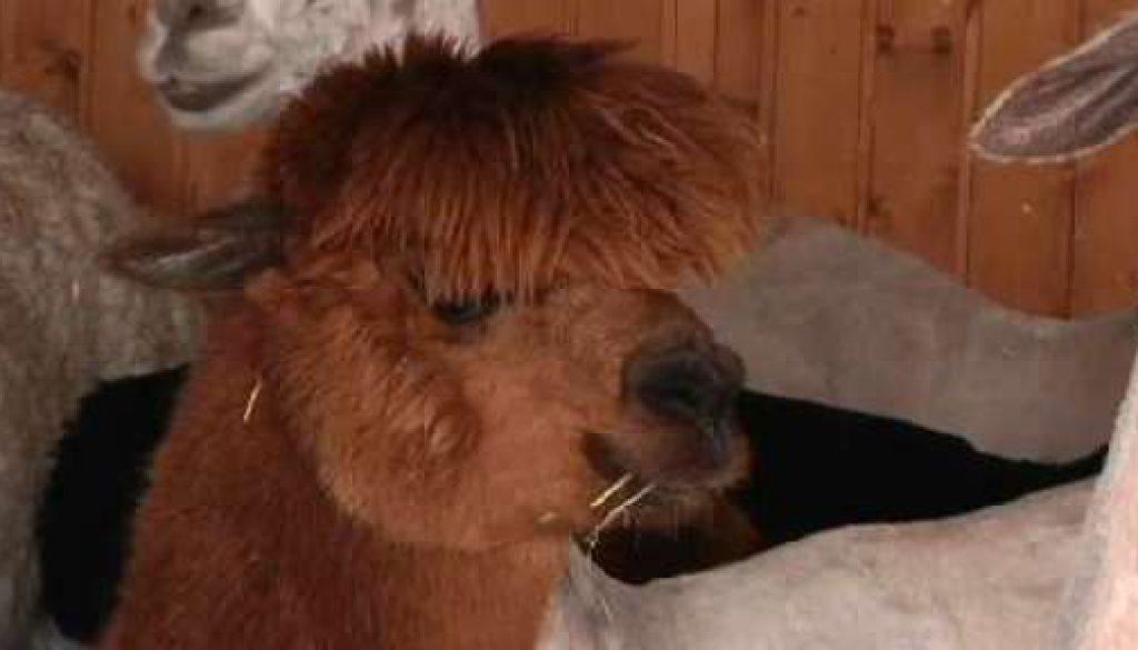 Alpakas haben Friseurtermin