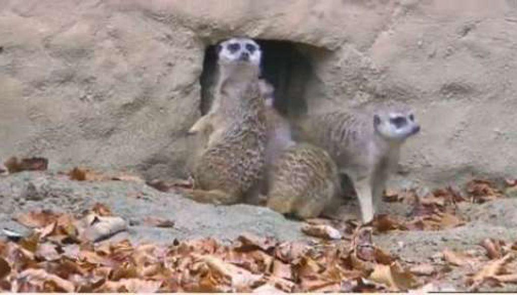 Bald erobern die Erdmännchen den Tierpark