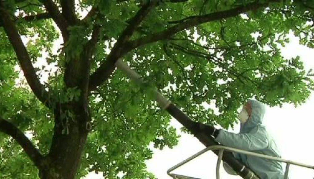 Eichenprozessionsspinner in Nordhorn beseitigt
