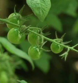 Der Gartentalk - Erfolgreiche Tomaten- und Rosenzucht