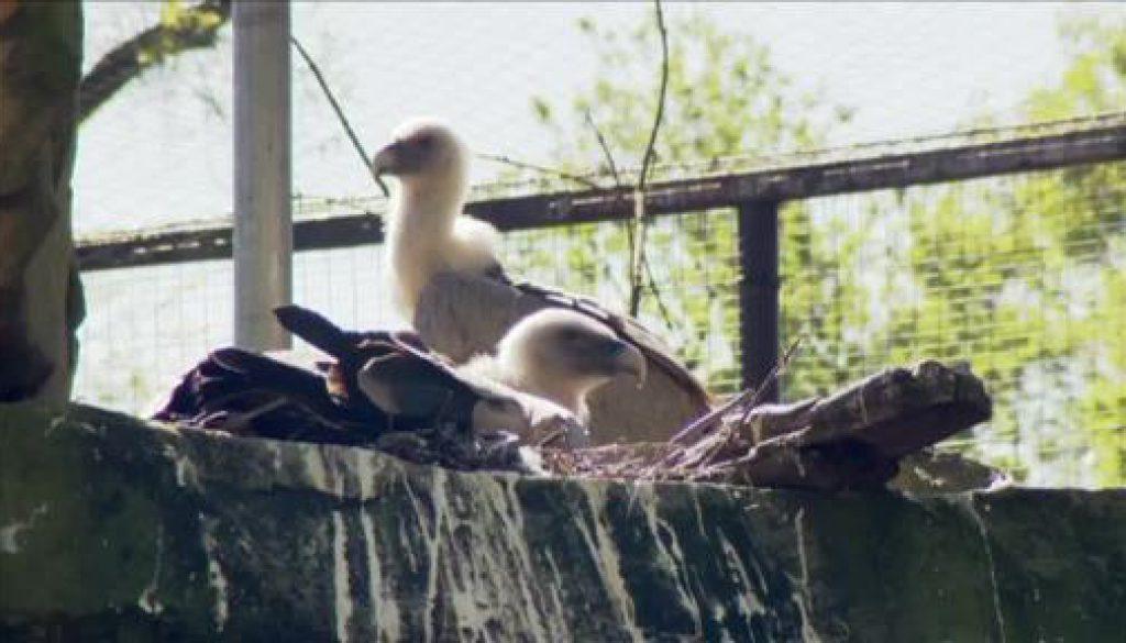 Schwule Geier: Tierpfleger gucken dem Paar ins Nest