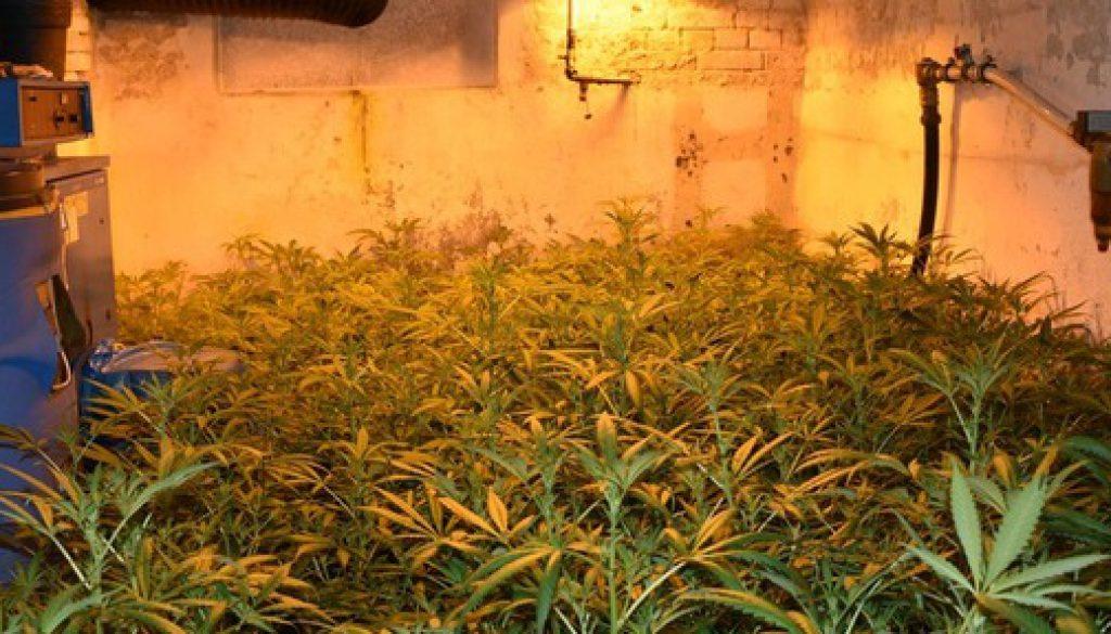 Zoll hebt Cannabisplantage aus