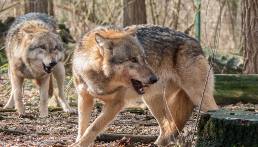 Screen_wolfstouristen