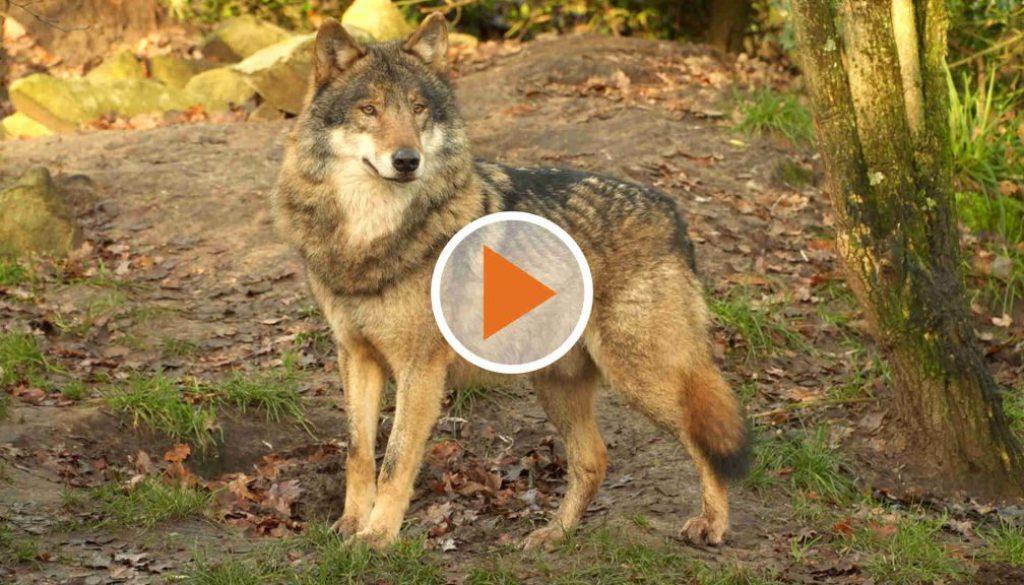 Screen_Wolf