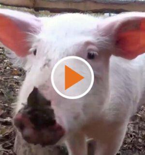 Screen_Stimme Schwein