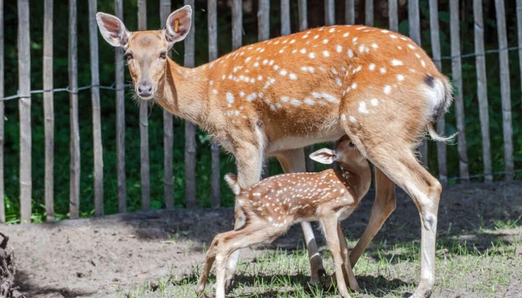 Screen_20 07 14 Erstes Sikakalb im Tierpark Nordhorn geboren