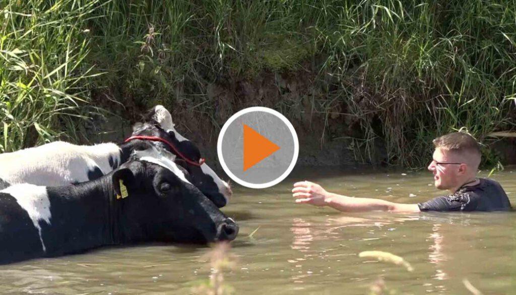 Screen_20 07 30 Kühe aus Kanal gerettet