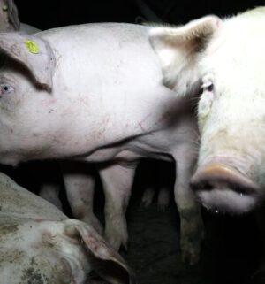 Screen Schweinchen Traurig