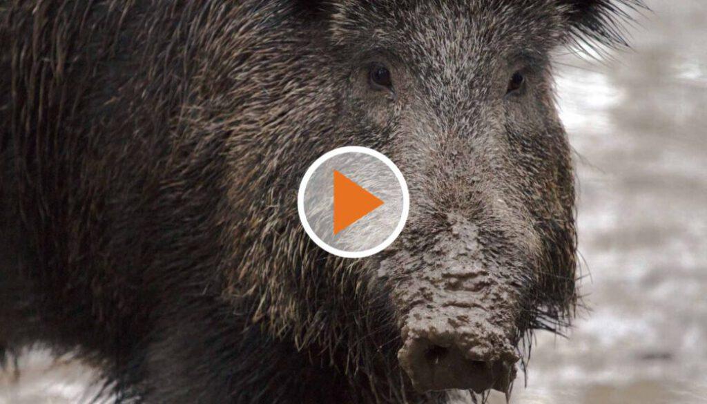 Screen_20 10 08 Schweinepest bedroht Tier und Landwirt