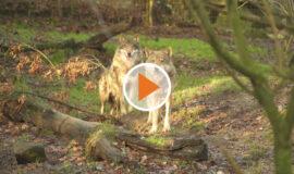 Screen_Der Wolf braucht Regeln Krisengespraech
