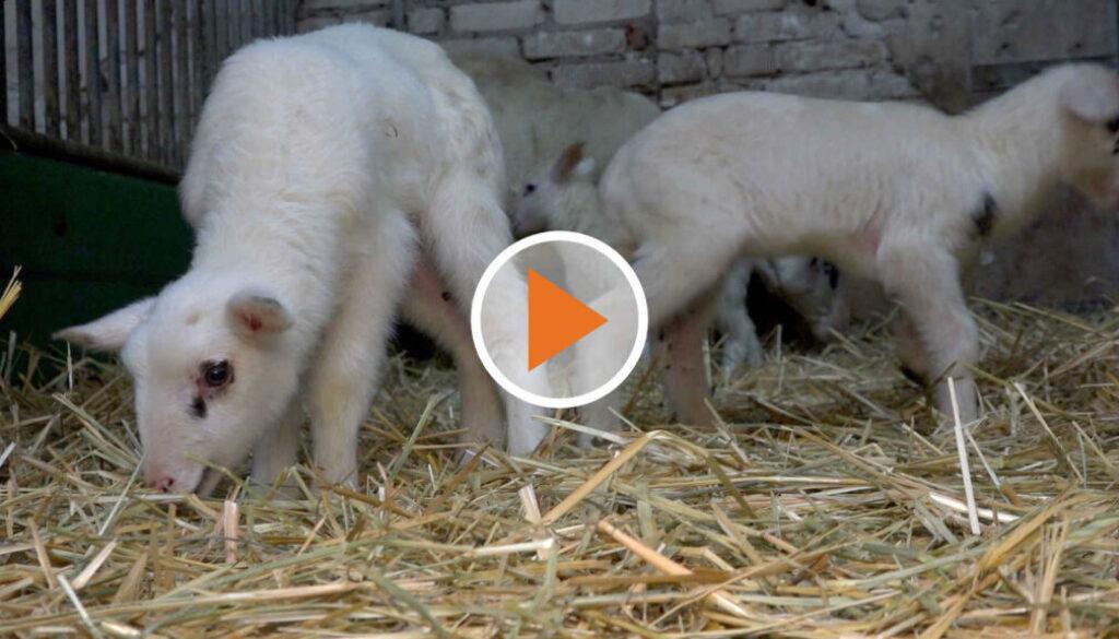 Screen_Lamm hoch 4 Sensation in Doerpen