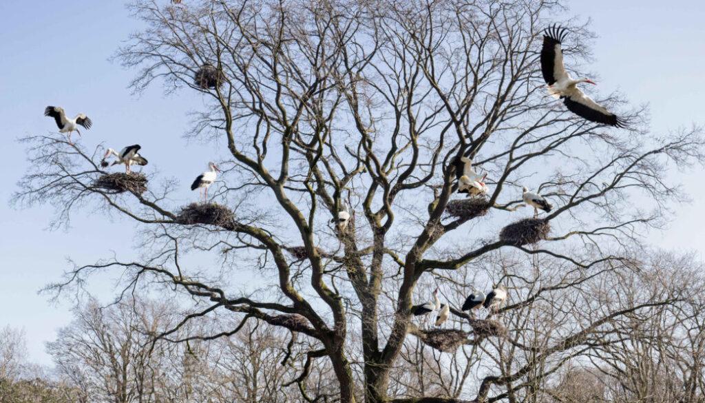 Erste Wildstoerche im Tierpark Nordhorn zurueck