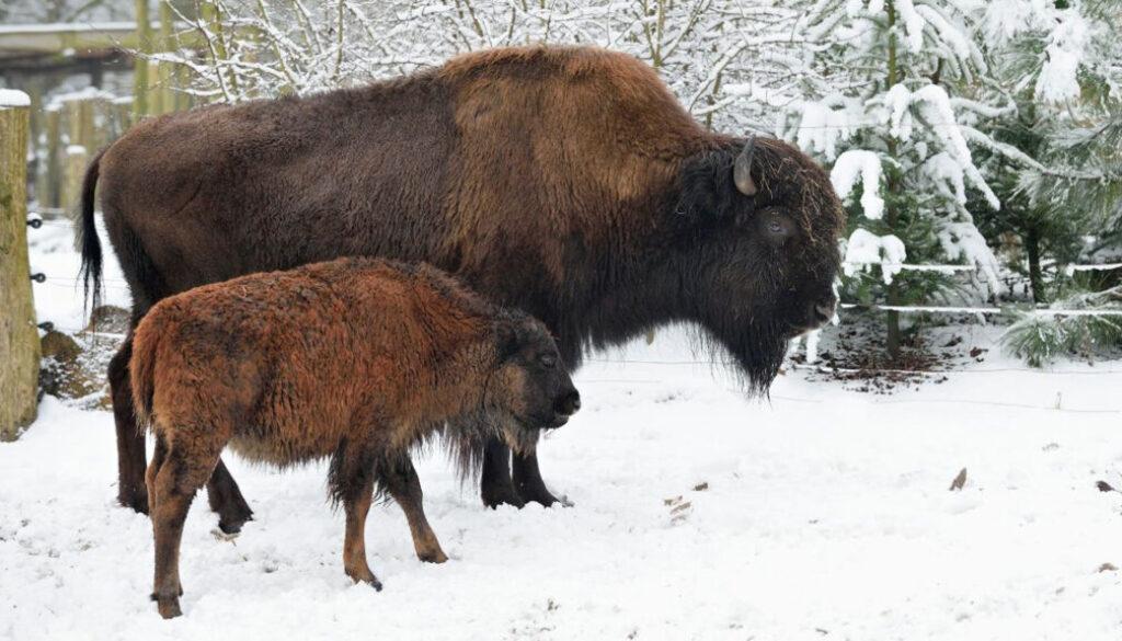 screen_bison_tierpark