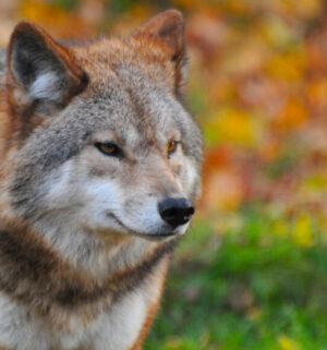 symbol_wolf_1