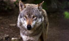 symbol_wolf_2