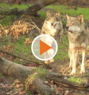 Screen_aus angst vorm wolf kungebung in wippingen